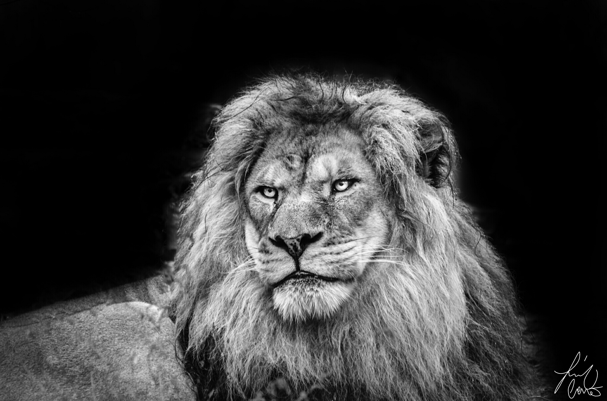Nature Lion Big Cats Fury Angry Portrait Monochrome: Blackandwhite Blackandwhiteportrait Emotions Petsandani
