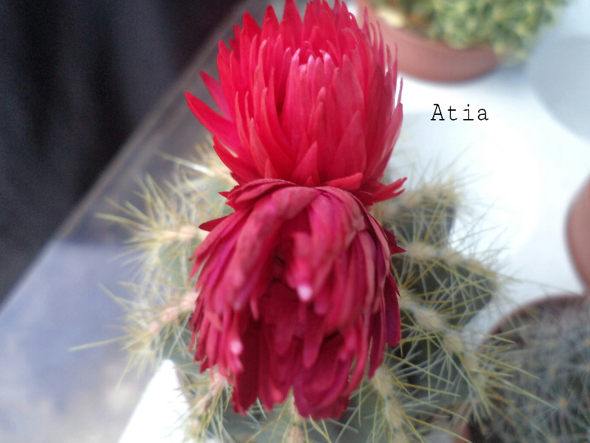 never knew tht in cactus flowers bloom! ! no edits Anyways my em xms r over so i am relxed! !!  nd yeah i ws not able to reply back coz of exms so Sorry for tht!  :-)