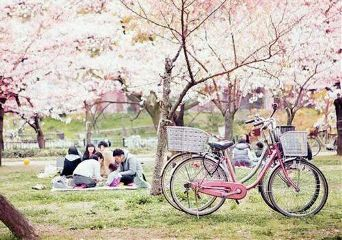 japan nature hanami cherry blossoms beautiful
