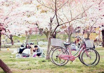 japan nature hanami cherry blossoms beautiful