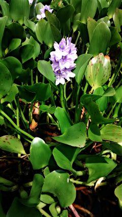 waterflower nature iris
