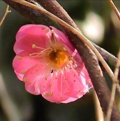 japan nature sky plum